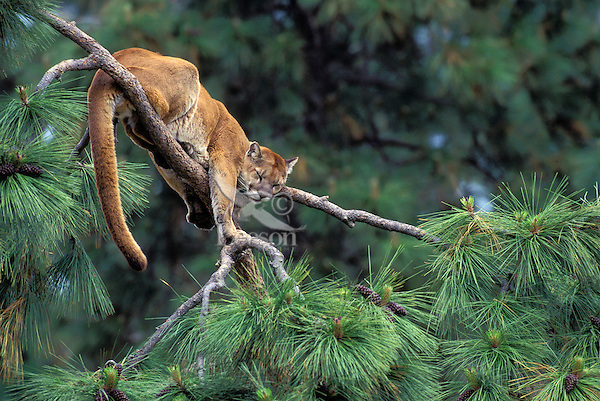 COUGAR/MOUNTAIN LION/PUMA..Male sleeping in ponderosa pine. Summer..British Columbia. (Felis concolor).