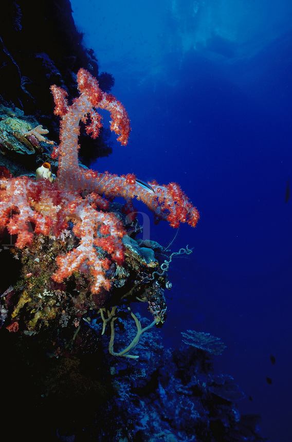Underwater view of soft coral growing on a wall. Papua New Guinea.