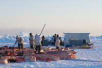 inupiaq whalers sort out bowhead whale, Balaena mysticetus, muktuk (strips of skin and blubber) for villagers of Barrow, Chukchi Sea, Arctic Alaska