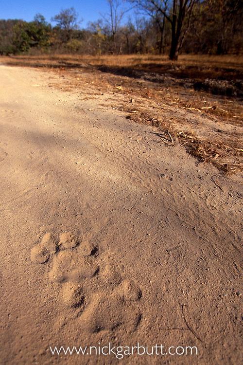 Pug marks of Bengal tiger {Panthera tigris tigris} Bandhavgarh NP, Madhya Pradesh, India