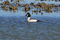 Adult male common goldeneye in breeding plumage at edge of oyster reef