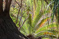 Cycad backlit in Desert Garden at Huntington Library Botanical Garden
