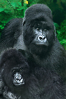 642229031 a wild silverback male and a female mountain gorilla gorilla gorilla berengi share an intimate moment in their cloud forest home in virungas national park at 10,000 feet in zaire