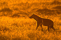 Spotted hyena (Crocuta crocuta), at sunrise, silhouette, Masai Mara National Reserve, Kenya, Africa
