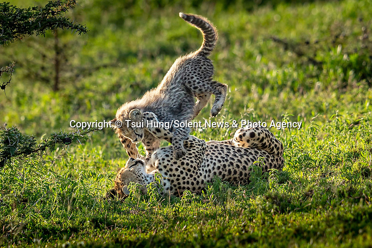 WHAT MUM MIGHT WAKE UP TO THIS SUNDAY..... A cheetah and its cub roll around together on the ground as they play.  The pair can be seen bundling around on the grass and throwing paws at each other, in what is a valuable lesson in survival for the four-month old cub.<br /> <br /> Photographer Hung Tsui caught the heartwarming encounter in the Ndutu region of Tanzania.  SEE OUR COPY FOR DETAILS.<br /> <br /> Please byline: Tsui Hung/Solent News<br /> <br /> © Tsui Hung/Solent News & Photo Agency<br /> UK +44 (0) 2380 458800