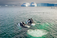 humpback whale, Megaptera novaeangliae, pair feeding in the waters off the western Antarctic Peninsula, Antarctica, Southern Ocean