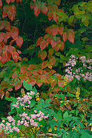 Lowrie's aster and flowering dogwood<br /> Oconaluftee River Valley<br /> Great Smoky Mountains National Park<br /> North Carolina