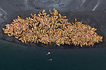 Walrus have begun to use Izembek National Wildlife Refuge in Western Alaska in recent years, most likely becasue changes in the Bering Sea caused by climate change are shifting the locations and abundance of food resources. Large numbers of them haul out on the protected barrier islands that seperate Izembek Lagoon form the Bering Sea betwen foraging trips out to sea. Izembek National Wildlife Refuge, Alaska. August.