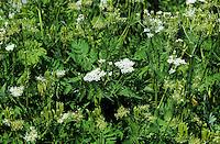 Süßdolde, Süß-Dolde, Myrrhenkerbel, Myrrhis odorata, Myrris odorata, Scandix odorata, Garden Myrrh, Sweet Cicely