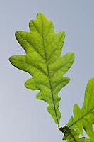 Stiel-Eiche, Stieleiche, Eiche, Quercus robur, Blätter, Blatt vor blauem Himmel, English Oak