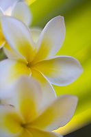 Plumeria flowers, a fragrant blossom deeply tied to Hawaii and its culture, also called frangipani