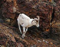 Dall sheep ram