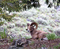 A BIG HORN SHEEP SITS UNDER A TREE AT THE FOOT OF MT. WASHBURN IN YELLOWSTONE NATIONAL PARK,WYOMING