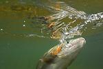 Underwater rainbow trout.