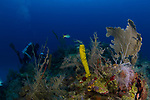 Reef scenic colorful with diver, Cuba Underwater, Gardens of the Queen Cuba Underwater, Jardines de la Reina, Protected Marine park underwater
