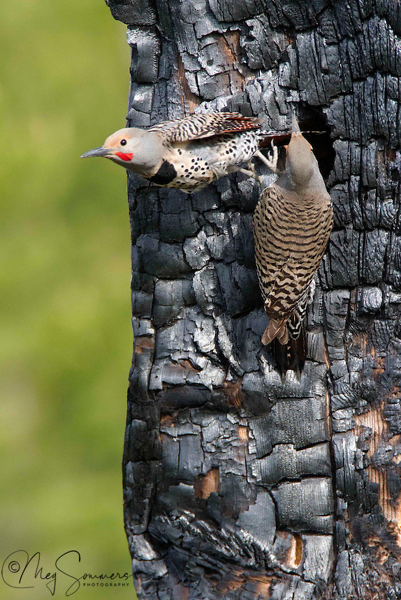 The Red-shafted Northern Flicker (Colaptes auratus) is a medium-sized member of the woodpecker family. They are cavity nesters who typically nest in trees. They prefer to excavate their own home though they will reuse and repair damaged or abandoned nests. It takes about 1 to 2 weeks to build the nest which is built by both sexes of the mating pairs. The entrance hole is roughly 2-4 inches wide.<br /> A typical clutch consists of 6 to 8 eggs.  Incubation is by both sexes for approximately 11 to 12 days. The young are fed by regurgitation and fledge about 25 to 28 days after hatching.