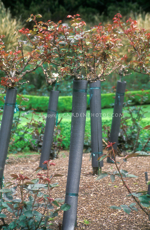 Winter maintenance of roses, rose bushes stems protected by insulation wrap, mulched in the rose garden, winterize perennial plants