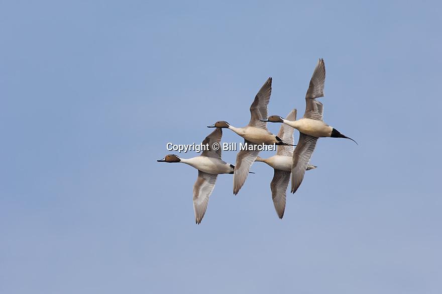 00300-025.20 Pintail Duck (DIGITAL) flock in flight against a blue sky.  Hunt, action, fly, waterfowl, marsh, wetlands.  H3L1