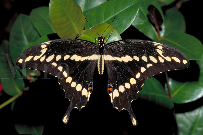 PAPILIO CRESPHONTES, Giant Swallowtail Butterfly.     subfamily - Papilioninae;  family - Papilionidae; order - Lepidoptera;      class - Insecta;    phyllum - Arthropoda;     kingdom - Animalia. NEW ORLEANS LOUISIANA USA AUDUBON ZOO.