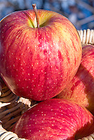 Apple Gala fruits, Malus domestica, three in basket freshly picked crop . Gala originates from the 1920s, when orchardist J.H Kidd crossed a Golden Delicious with his own Kidd's Orange Red. Heirloom apple, antique apple variety