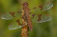 Eastern Amberwings (Perithemis tenera) dragonfly - Female, Silver Lake Preserve, West Harrison, Westchester County, New York