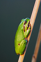 Common Tree Frog, Hyla arborea, adult resting on reed, National Park Lake Neusiedl, Burgenland, Austria, April 2007