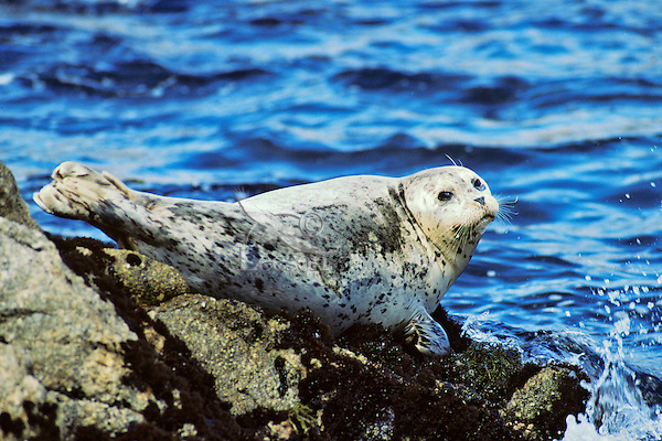 Harbor seal (Phoca vitulina).