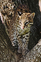 Ocelot, Felis pardalis, captive, female on mesquite tree, Welder Wildlife Refuge, Sinton, Texas, USA, Oktober 2006