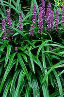 Blue Lily-Turf Liriope muscari #6012. Virginia.