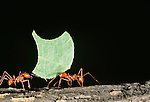 Leafcutter ants, South America