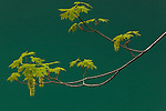 Maple tree branch and the Sol Duc River, Olympic National Park, Washington, USA