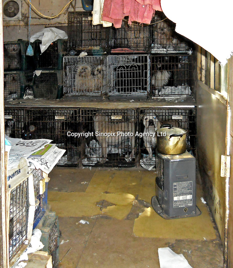 """Conditions in a breeders """"puppy mill"""" in Ibaraki, Japan show the horrendous conditions that many breeders operate under. Breeders are largely unregulated in Japan..photo by  / Sinopix............"""