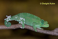 CH37-537z  Female Jackson's Chameleon or Three-horned Chameleon, molting old skin, Chamaeleo jacksonii