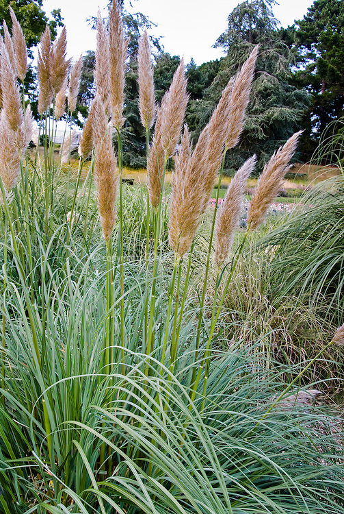 Ornamental Grass Cortaderia selloana 'Patagonia''  in bloom, variegated green and white foliage, pampas grass