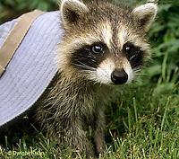 MA21-027x  Raccoon - young animal exploring - Procyon lotor