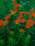 Goose Lake Prairie State Natural Area, IL<br /> Butterfly Weed (asclepsias tuberosa) and native prairie grasses