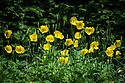Welsh poppies (Meconopsis cambrica), mid June.