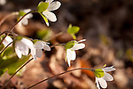 Round-lobed Hepatica (Hepatica americana) in Shaw Mountain Natural Area (Nature Conservancy), Benson, VT, USA
