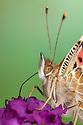 Painted Lady Butterfly {Vanessa cardu} showing proboscis extending into buddleia flower. Peak District National Park, Derbyshire, UK. September.