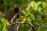 Black-and-red Broadbill<br /> (Cymbirhynchus macrorhynchos), Kinabatangan River, Sabah, Borneo, Malaysia