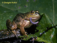 FR09-013z  Bullfrog - eating a worm - Lithobates catesbeiana, formerly Rana catesbeiana