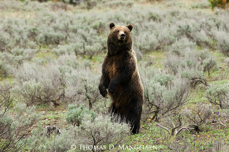 Grizzly No. 399 standing upright in Grant Teton National Park, WY