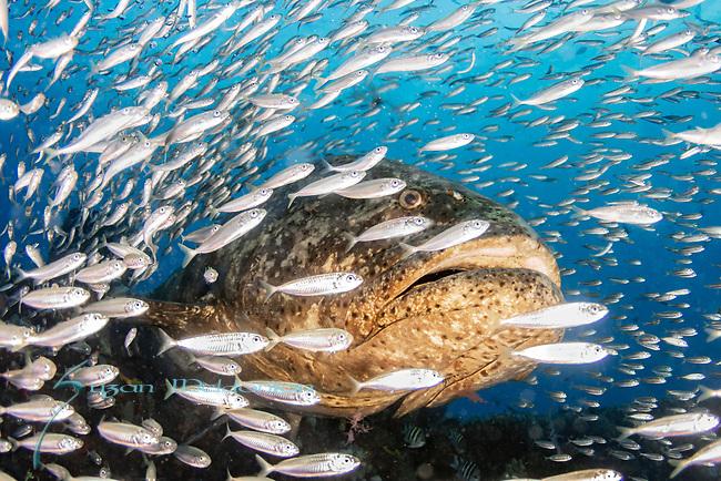 Atlantic goliath grouper bellowing, bait fish, endangered species, Epinephelus itajara, Goliath Groupers and bait balls, itajara, IUCN Red List vulnerable, jewfish, sardines, spawning event, MG111, Jupiter, FLA