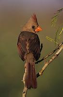 Northern Cardinal, Cardinalis cardinalis, female, Lake Corpus Christi, Texas, USA, March 2003
