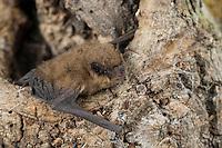 Zwergfledermaus, Zwerg-Fledermaus, Pipistrellus pipistrellus, Common pipistrelle, Pipistrelle commune. Baumhöhle, Höhlenbewohner