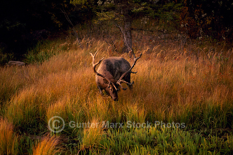 Jasper National Park, Canadian Rockies, AB, Alberta, Canada - Bull Elk, Wapiti (Cervus canadensis), grazing at Watering Hole, Sunset