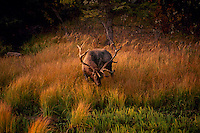 Jasper National Park, Canadian Rockies, AB, Alberta, Canada - Bull Elk, Wapiti (Cervus canadensis), grazing at Watering Hole, Sunset