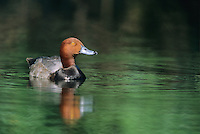 Redhead Duck, male, Cumberland County, New Jersey