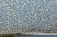 A mass liftoff of snow geese in Merced NWR, California.