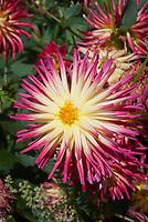 Dahlia 'Weston Spanish Dancer' cactus type red and yellow